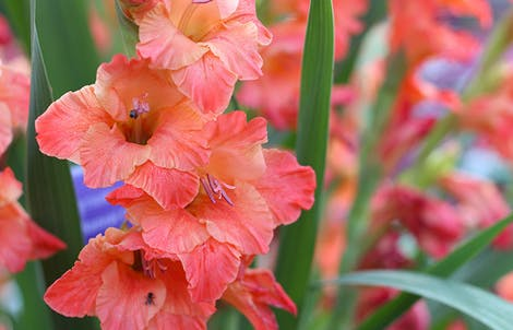 Photograph of gladioluss