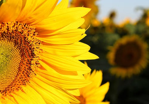 Close-up photo of a bright, goldewn sunflower in the field