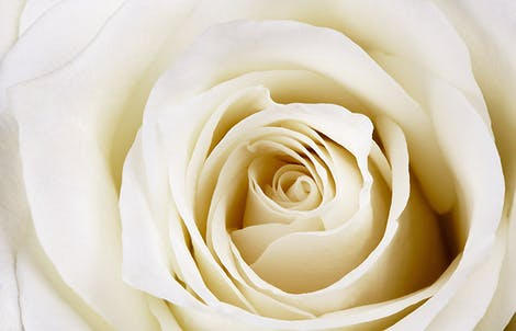 Close-up photograph of a rose representing innocence & secrecy
