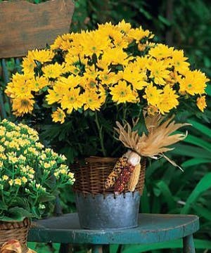 Harvest Yellow Daisy Plant